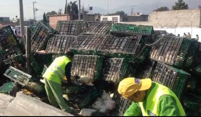 Vuelca tráiler con 25 toneladas de gallinas vivas en Ecatepec