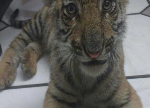 Profepa traslada dos tigres de Bengala de Jalisco a Ciudad de México