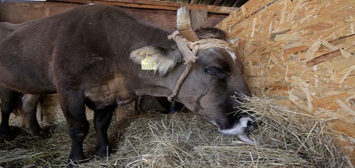 Indultan a una vaca que fue sentenciada a muerte por ingresar ilegalmente a Bulgaria