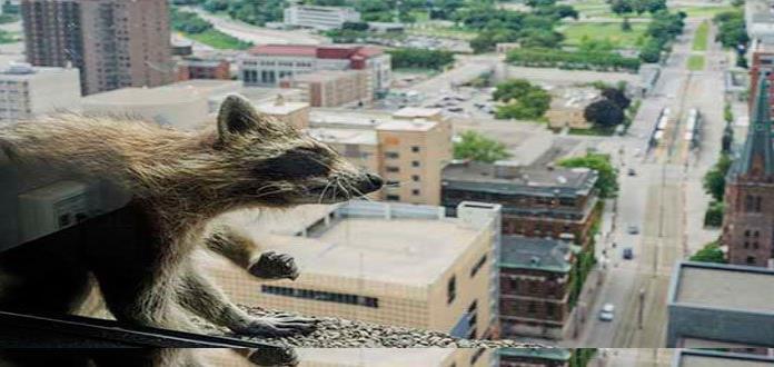 Rescatan a mapache que trepó a un edificio de 25 pisos