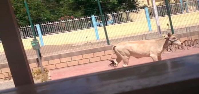 Blindan la Unidad Deportiva por caso de vaca invasora