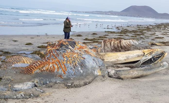 Atienden varamiento de ballena jorobada en playa de Ensenada, BC
