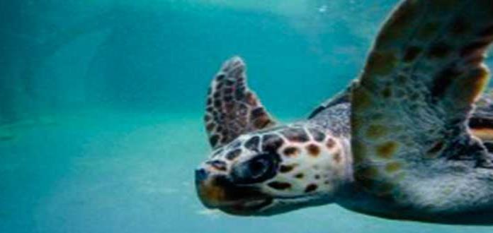 El 60% de tortugas rescatadas en Argentina tienen plástico en sus intestinos
