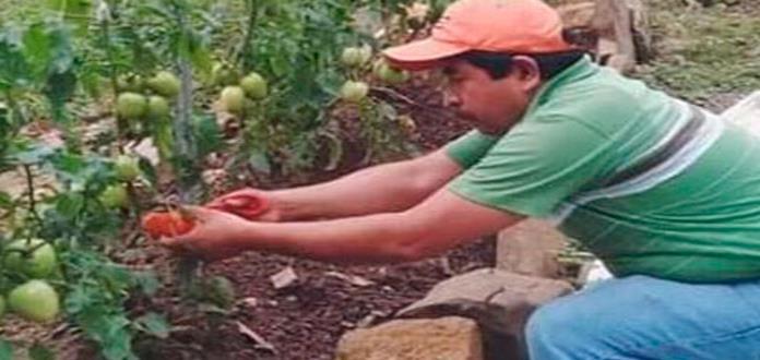 Con poca agua logran cosecha de jitomates