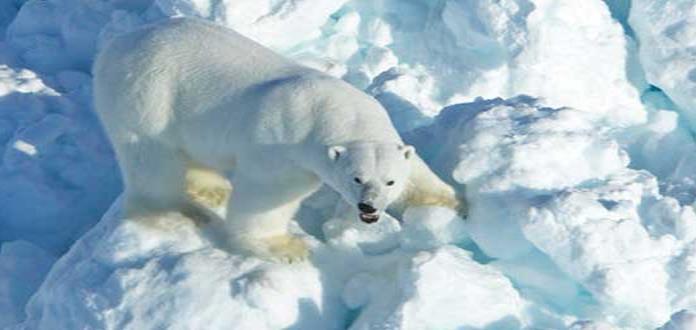 Osos polares invaden pueblo ruso, causando temor y sorpresa