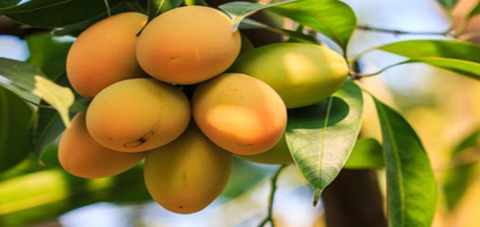 Un mexicano consume en promedio 12.4 kilos de mango al año