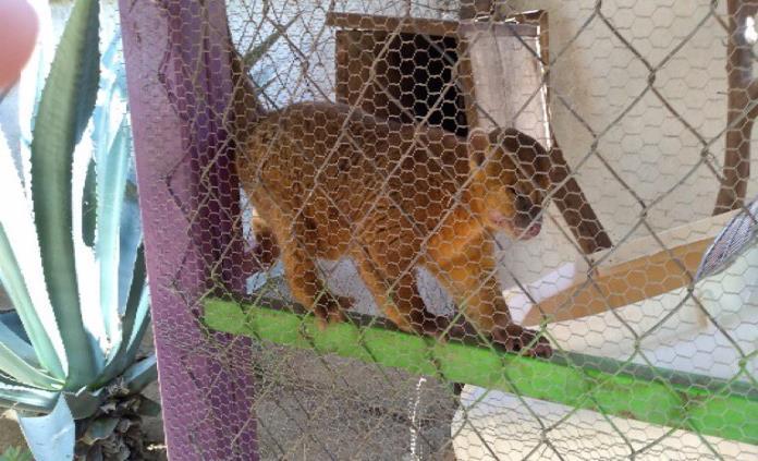 Procuraduría ambiental rescata un ejemplar mico de noche en Chiapas