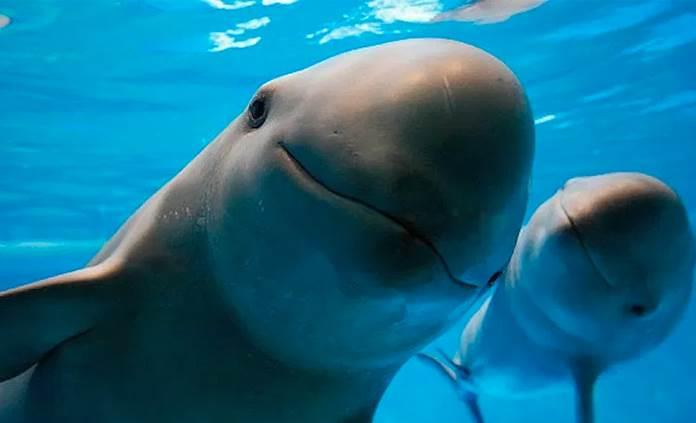 Expertos dicen que sólo hay 22 vaquitas marinas en México