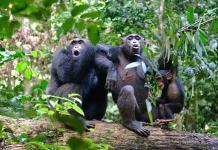 Chimpancés muestran mayor diversidad de comportamiento en entornos variables