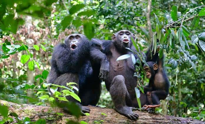 El ser humano altera gravemente el comportamiento de los chimpancés salvajes