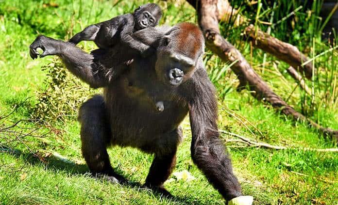 Gorila adopta cría de otra que mostró poco interés en zoo de Florida