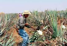 Guadalajara lista para celebrar el Día Nacional del Tequila