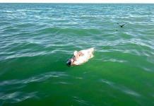 Hallan posibles restos de vaquita marina en el Golfo de California