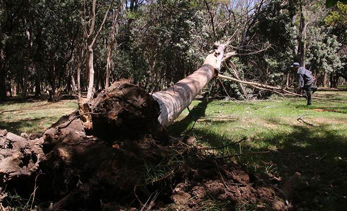 Cierran parques y caen árboles por ventarrones