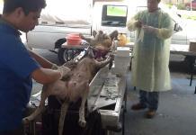 Esterilizan a perros y gatos en Xilitla