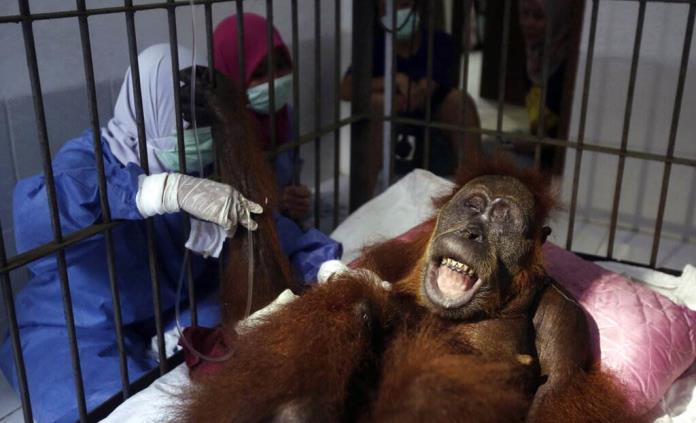 Orangután queda ciega tras recibir 74 disparos de balines