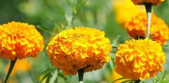 Flores mexicanas comestibles, buenas para tu salud