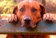 Perros y gatos, portadores de pulgas con altos niveles de bacterias