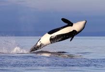 Buscan restringir pesca de salmón para ayudar a orcas