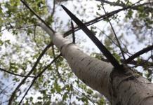 Descubren en Jalisco una nueva especie de álamo blanco