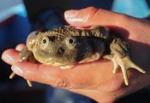 Una isla boliviana quiere convertirse en santuario para la rana del Titicaca