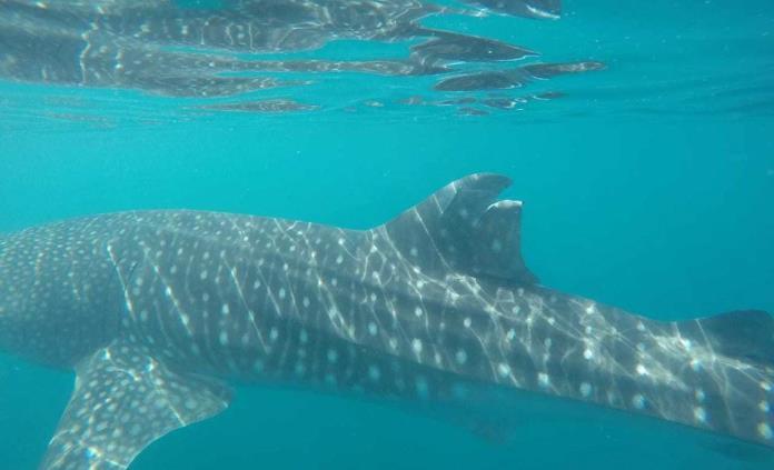 Autoridad ambiental presenta denuncia por daño a tiburón ballena