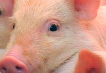 Robot autónomo logra entrar al corazón de un cerdo con éxito