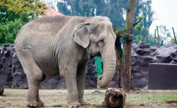 Muere Safari, elefanta asiática del zoológico de Zacango