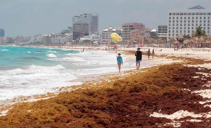 Sargazo causa mortalidad de ejemplares de 72 especies en las costas mexicanas
