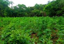 Investigan hallazgo de más de 13 mil plantas de marihuana en Jalisco