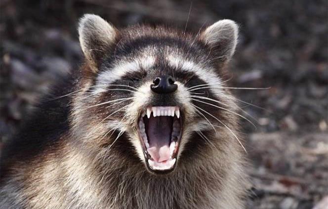 """Advierten en Chicago sobre """"mapaches zombis"""" con moquillo"""