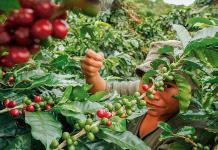 Caída de precios de café empuja migración