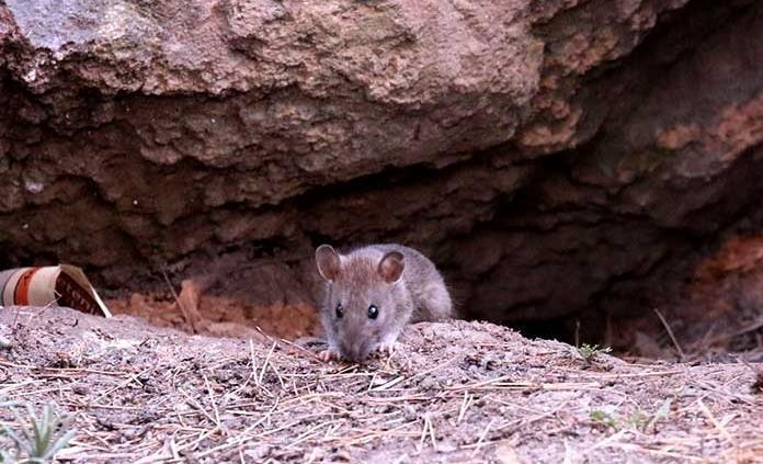 Malos hábitos de peatones dificultan exterminio de ratas