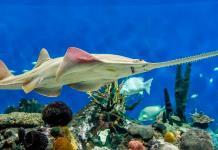 Mexicano sigue la estela de ADN del pez sierra, un animal de fantasía