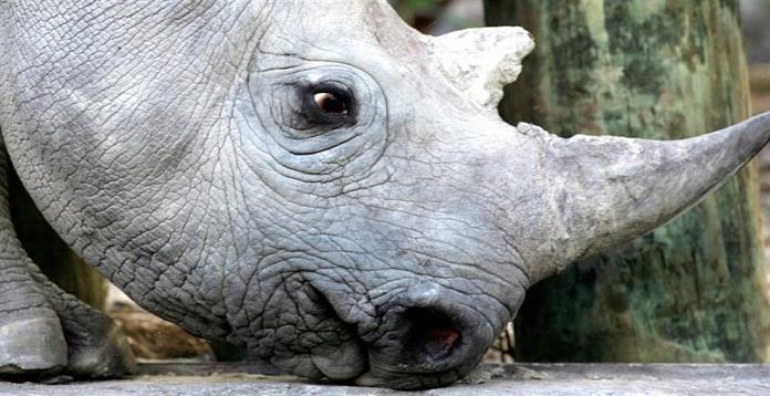 Zoológico impulsa plan de rescatar a rinocerontes
