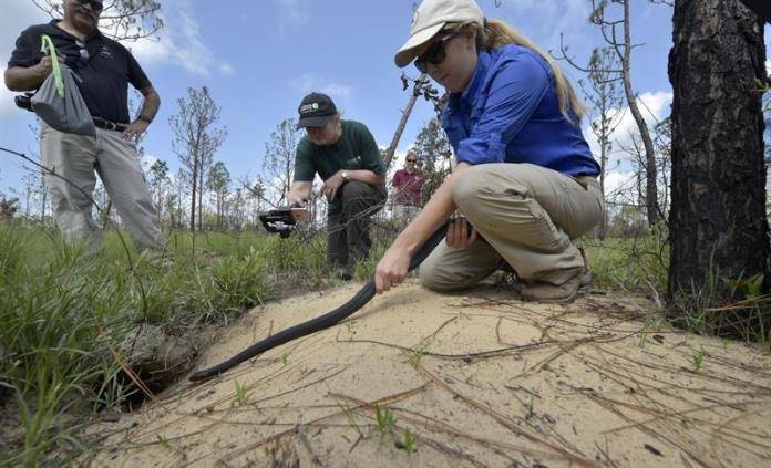 Liberan 15 ejemplares de índigo, la serpiente más larga de Norteamérica