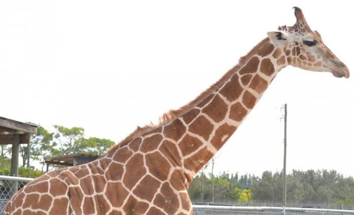 Un rayo mata a dos jirafas en un parque de atracciones de Florida