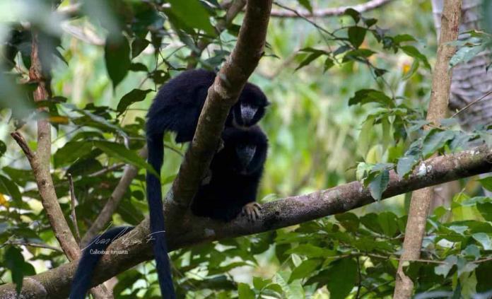 Cambio climático provocaría extinción de monos en Sudamérica