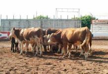 Exhortan a ganaderos a vacunar sus hatos