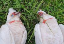 Indagan muerte de 60 aves en Australia, de posible especie protegida