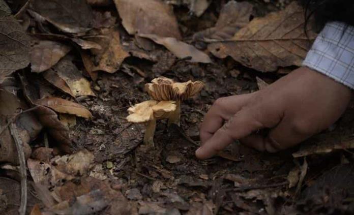 Hongos comestibles para disfrutar durante la temporada de lluvias