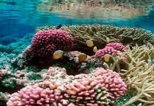 Descubren células inmunes en la genética de los corales que forman arrecifes