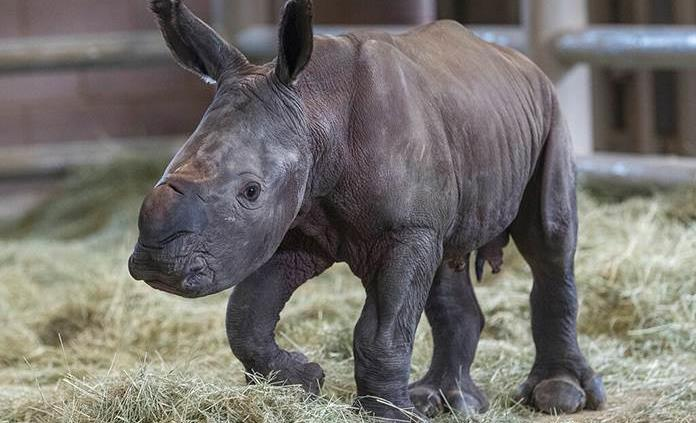 Nace un rinoceronte gracias a técnica de inseminación artificial