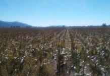 A sequía se suma ahora las plagas