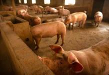 Científicos chinos alertan de gripe porcina con potencial de contagiar a humanos y provocar otra pandemia