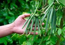 Productores piden apoyo para rescatar cultivos de vainilla