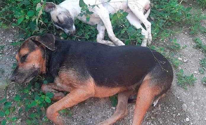 Matan a perros y gatos en el  Fracc. San José