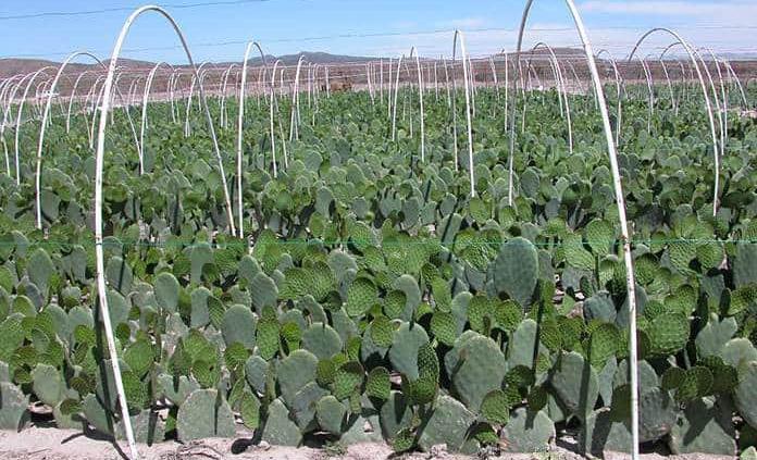 Sugieren regrese al Altiplano el cultivo de forraje y nopal