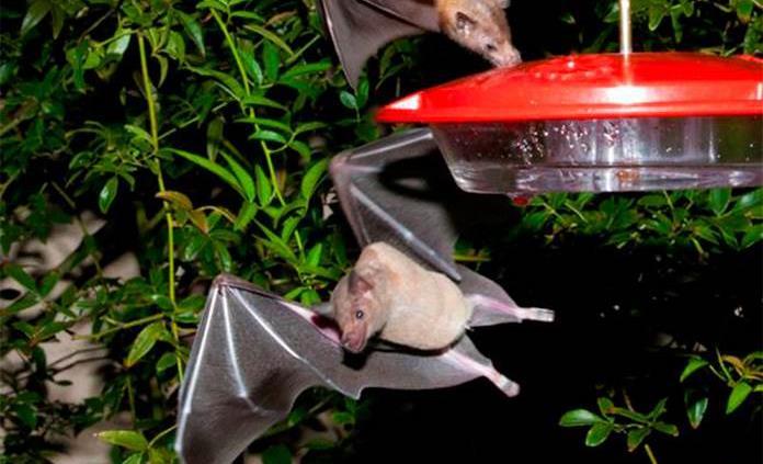 Especialista explica la función ecológica de los murciélagos