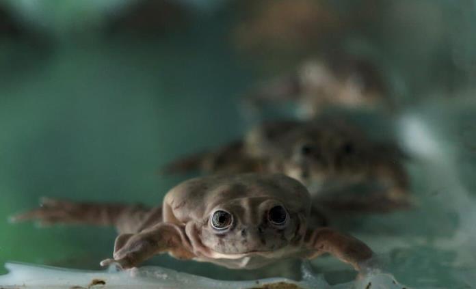Perú muestra 20 ranas amenazadas nacidas en zoológico